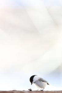 コガラの写真素材 [FYI04096480]