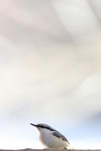 ゴジュウカラの写真素材 [FYI04096481]