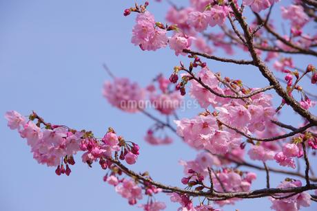 梅の写真素材 [FYI04096768]