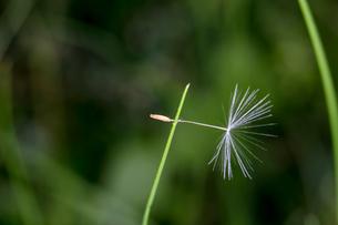 クモの糸で草に引っ掛かっているセイヨウタンポポの種の写真素材 [FYI04096823]