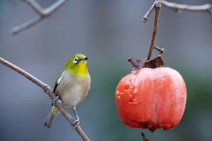 柿の実を食べに来たメジロの写真素材 [FYI04096828]
