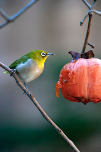 柿の実を食べに来たメジロの写真素材 [FYI04096829]