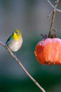 柿の実を食べに来たメジロの写真素材 [FYI04096830]