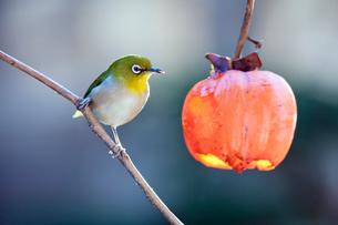 柿の実を食べに来たメジロの写真素材 [FYI04096831]