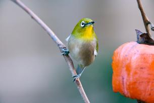 柿の実を食べに来たメジロの写真素材 [FYI04096832]