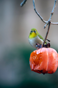 柿の実を食べに来たメジロの写真素材 [FYI04096833]