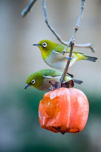 柿の実を食べに来たメジロの番いの写真素材 [FYI04096834]