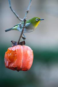 柿の実を食べに来たメジロの写真素材 [FYI04096835]