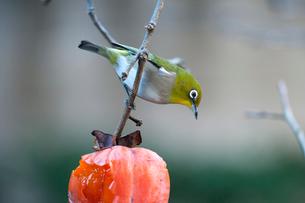 柿の実を食べに来たメジロの写真素材 [FYI04096837]