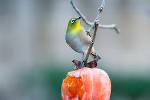 柿の実を食べに来たメジロの写真素材 [FYI04096838]