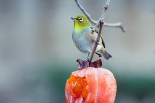 柿の実を食べに来たメジロの写真素材 [FYI04096839]