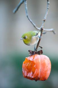 柿の実を食べに来たメジロの写真素材 [FYI04096840]