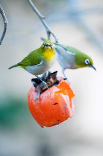 柿の実を食べに来たメジロの番いの写真素材 [FYI04096841]