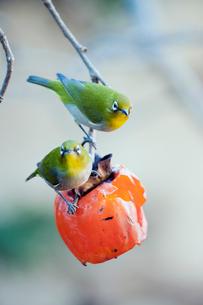 柿の実を食べに来たメジロの番いの写真素材 [FYI04096842]