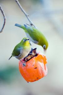 柿の実を食べるメジロの番いの写真素材 [FYI04096843]
