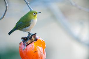 柿の実を食べに来たメジロの写真素材 [FYI04096844]