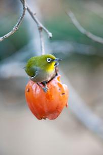 柿の実を食べに来たメジロの写真素材 [FYI04096845]