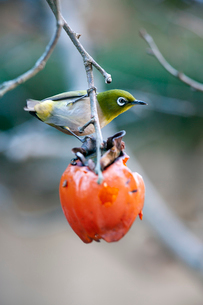柿の実を食べに来たメジロの写真素材 [FYI04096846]