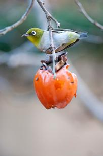 柿の実を食べに来たメジロの写真素材 [FYI04096847]