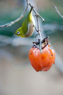 柿の実を食べに来たメジロの写真素材 [FYI04096848]
