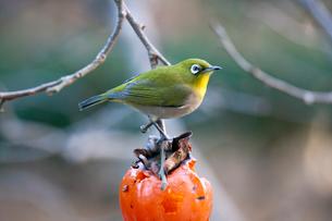 柿の実を食べに来たメジロの写真素材 [FYI04096850]