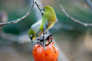 柿の実を食べるメジロの番いの写真素材 [FYI04096851]