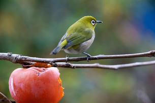 柿の実を食べに来たメジロの写真素材 [FYI04096852]