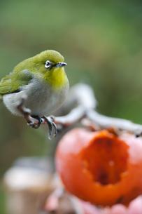 柿の実を食べに来たメジロの写真素材 [FYI04096853]