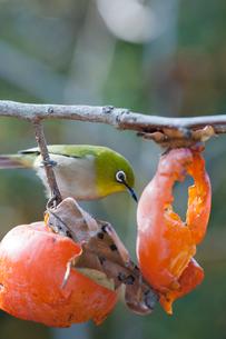 柿の実を食べに来たメジロの写真素材 [FYI04096857]