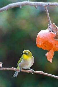 柿の実を食べに来たメジロの写真素材 [FYI04096860]