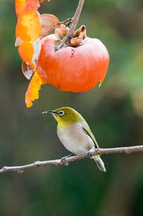 柿の実を食べに来たメジロの写真素材 [FYI04096862]