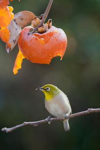 柿の実を食べに来たメジロの写真素材 [FYI04096863]