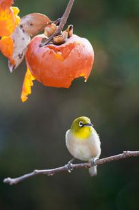 柿の実を食べに来たメジロの写真素材 [FYI04096864]