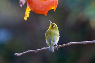 柿の実を食べに来たメジロの写真素材 [FYI04096865]