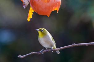 柿の実を食べに来たメジロの写真素材 [FYI04096866]