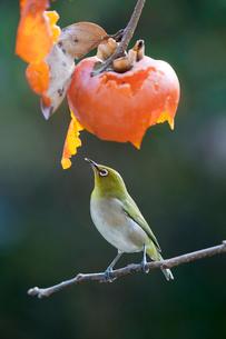 柿の実を食べに来たメジロの写真素材 [FYI04096867]