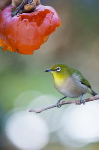 柿の実を食べに来たメジロの写真素材 [FYI04096871]