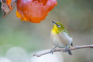 柿の実を食べに来たメジロの写真素材 [FYI04096872]
