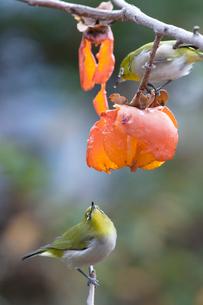 柿の実を食べるメジロの番いの写真素材 [FYI04096874]