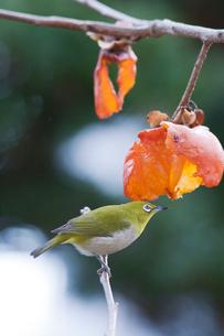 柿の実を食べに来たメジロの写真素材 [FYI04096875]
