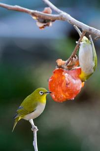 柿の実を食べるメジロの番いの写真素材 [FYI04096876]