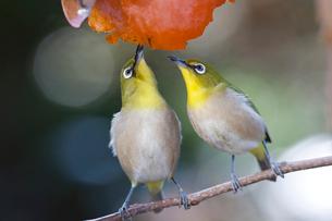 柿の実を食べるメジロの番いの写真素材 [FYI04096878]