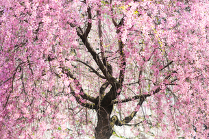 桜の写真素材 [FYI04097045]