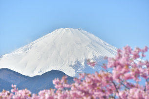 松田山の河津桜越しの富士山の写真素材 [FYI04097195]