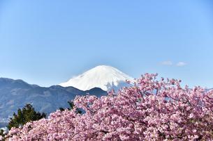 松田山の河津桜越しの富士山の写真素材 [FYI04097196]