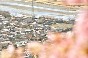 松田山の河津桜越しの小田急小田原線の写真素材 [FYI04097199]