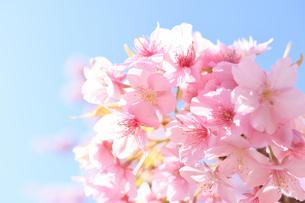 松田山の河津桜の写真素材 [FYI04097206]