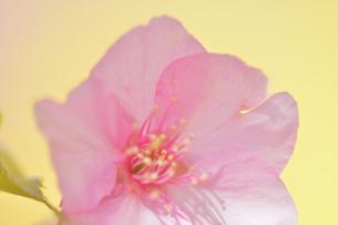 松田山の河津桜の写真素材 [FYI04097207]