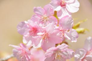 松田山の河津桜の写真素材 [FYI04097208]