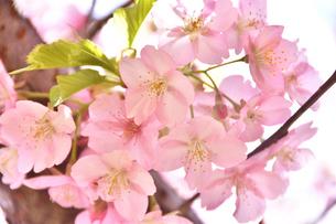 松田山の河津桜の写真素材 [FYI04097209]